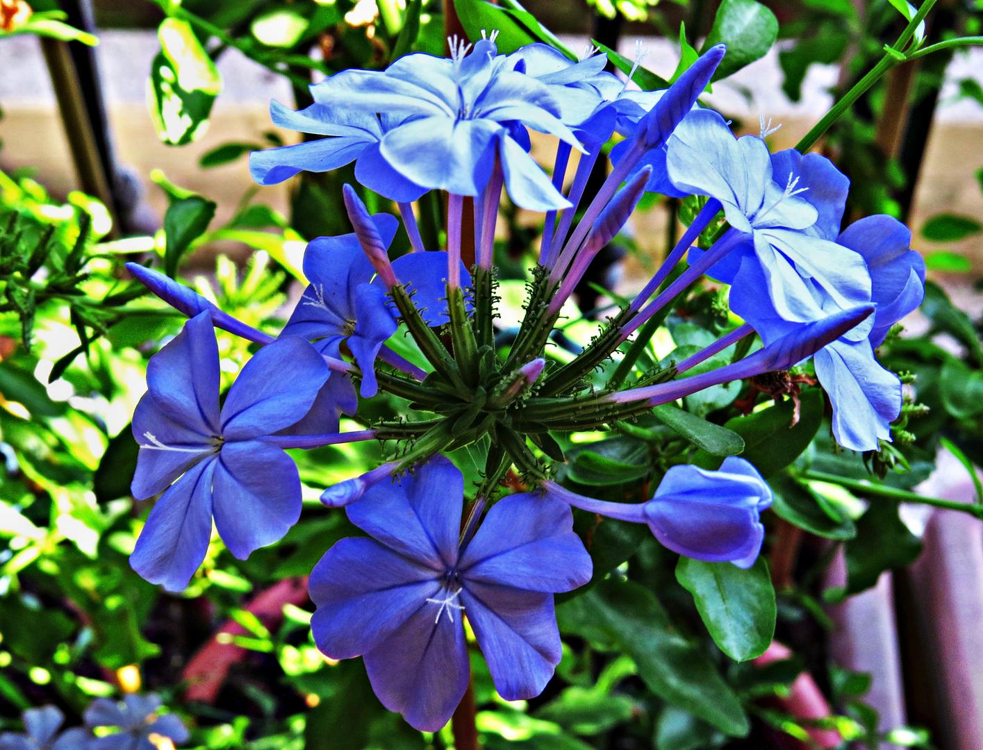 PLUMBAGO Flowers