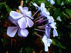 PLUMBAGO on our terrace