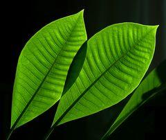 plumeriablätter