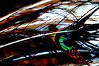 plumes de paons