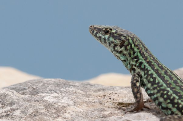 Podarcis pityusensis II