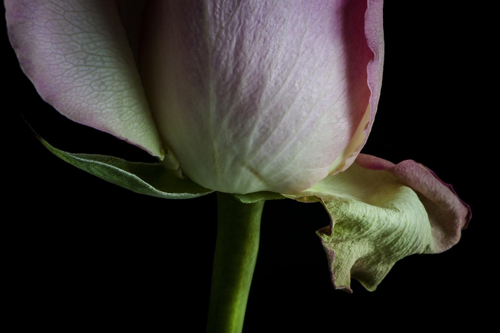 Poesie einer Rose