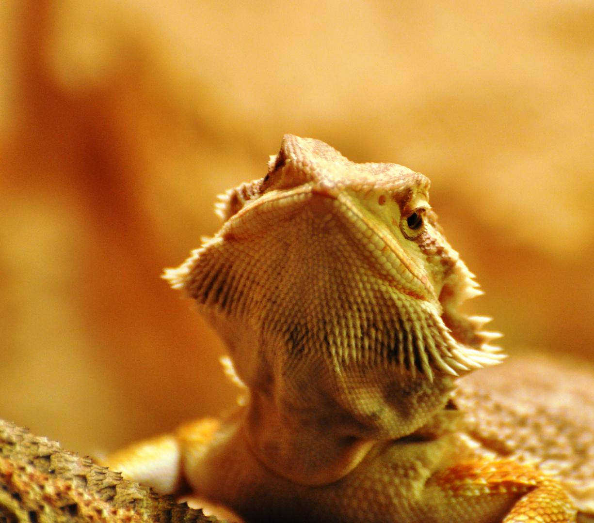 Pogona vitticeps - Bearded Dragon - junger Bartagamen Bock