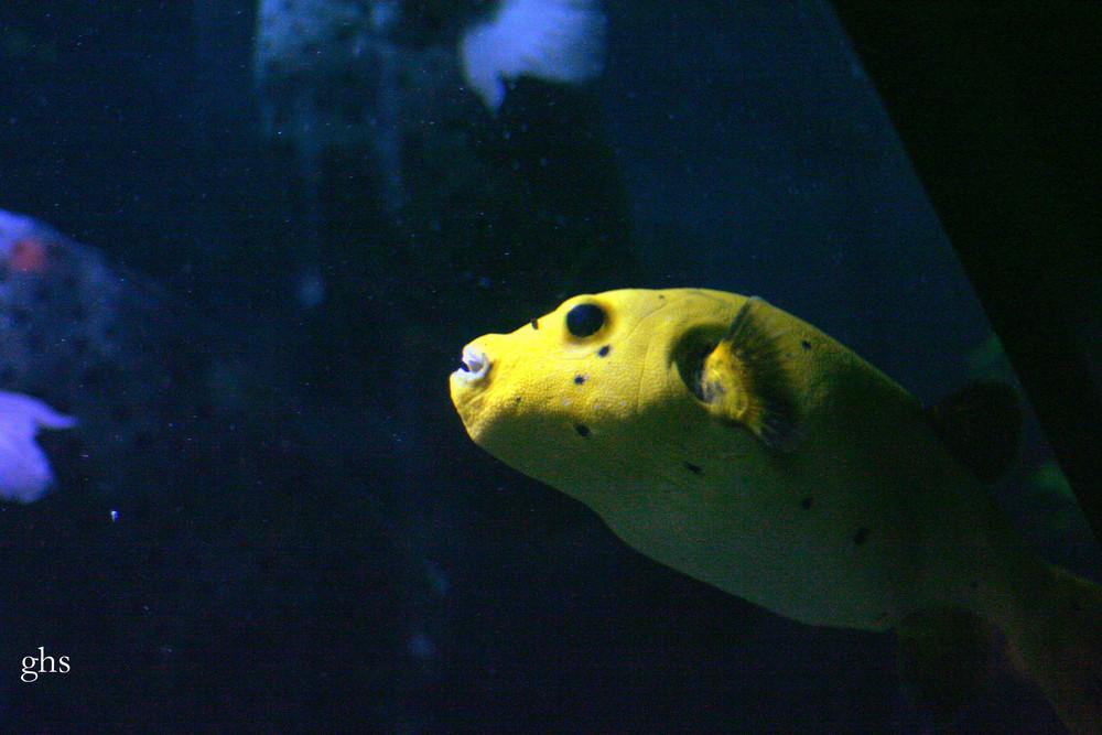 poisson diodon jaune