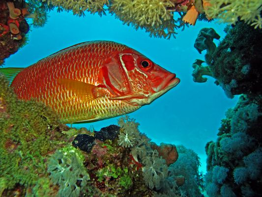 poisson ecureuil mer rouge