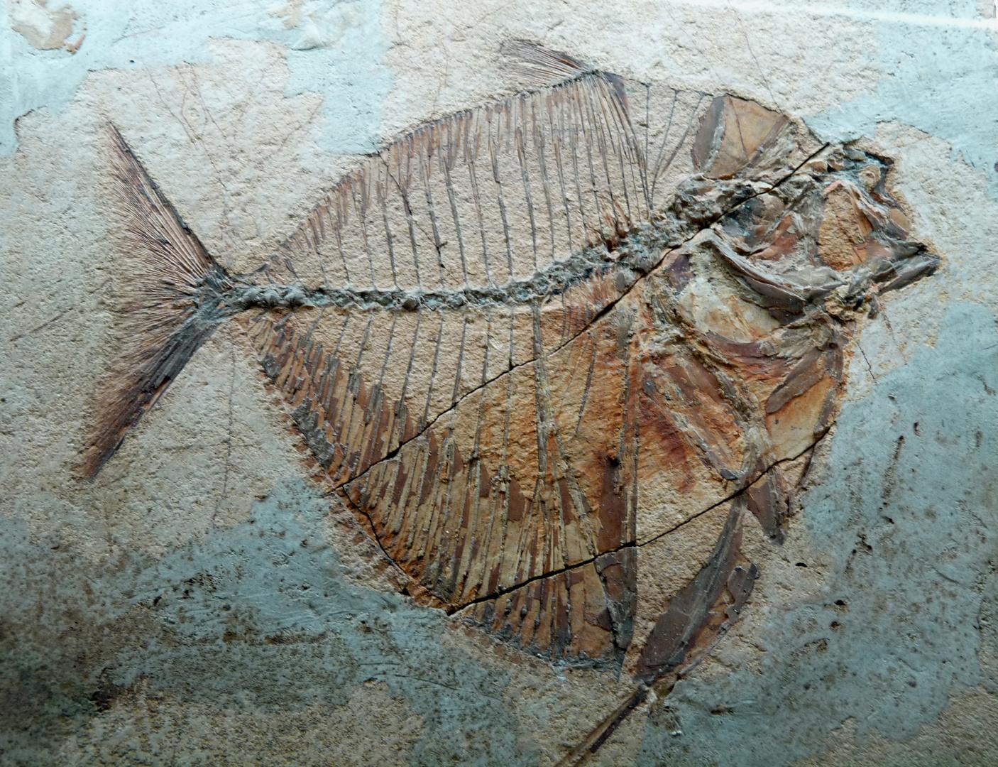 Poisson fossile.
