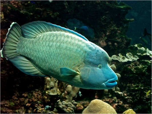 Poisson Napoléon -- Cheilinus undulatus -- Aquarium des lagons, Nouméa