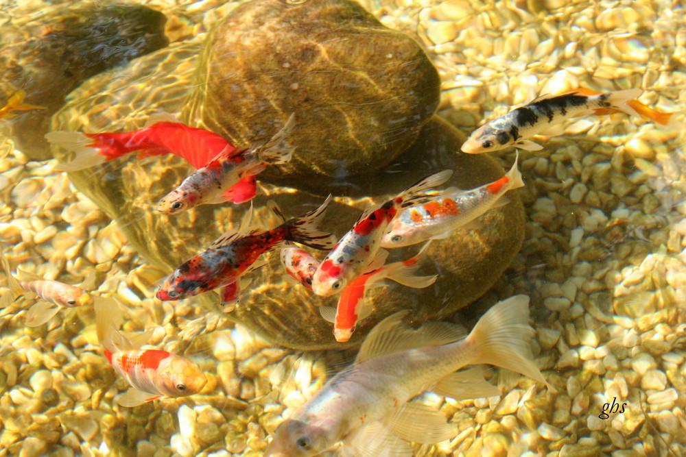 poissons chinois