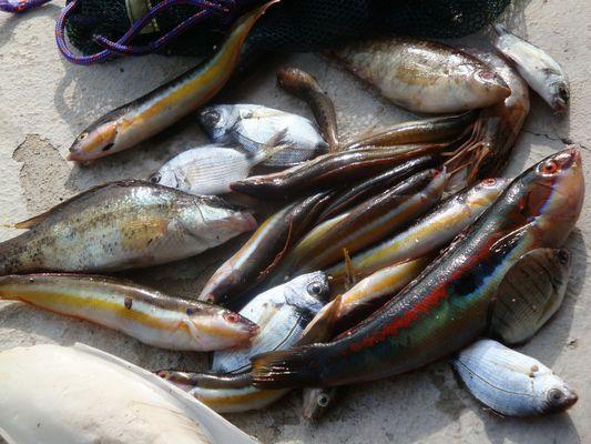 poissons de roche