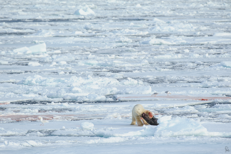 ___polar bear, anyone?___