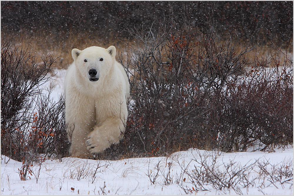 Polar bear von Thomas Schäffer