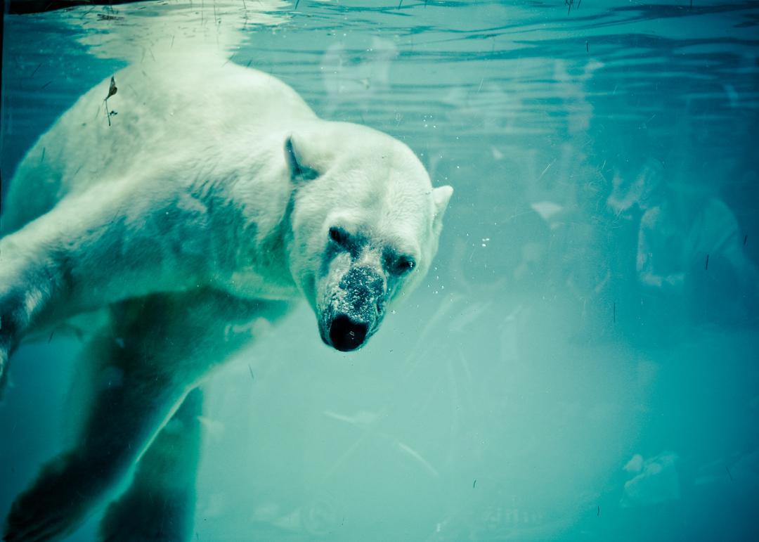 Polar bear II