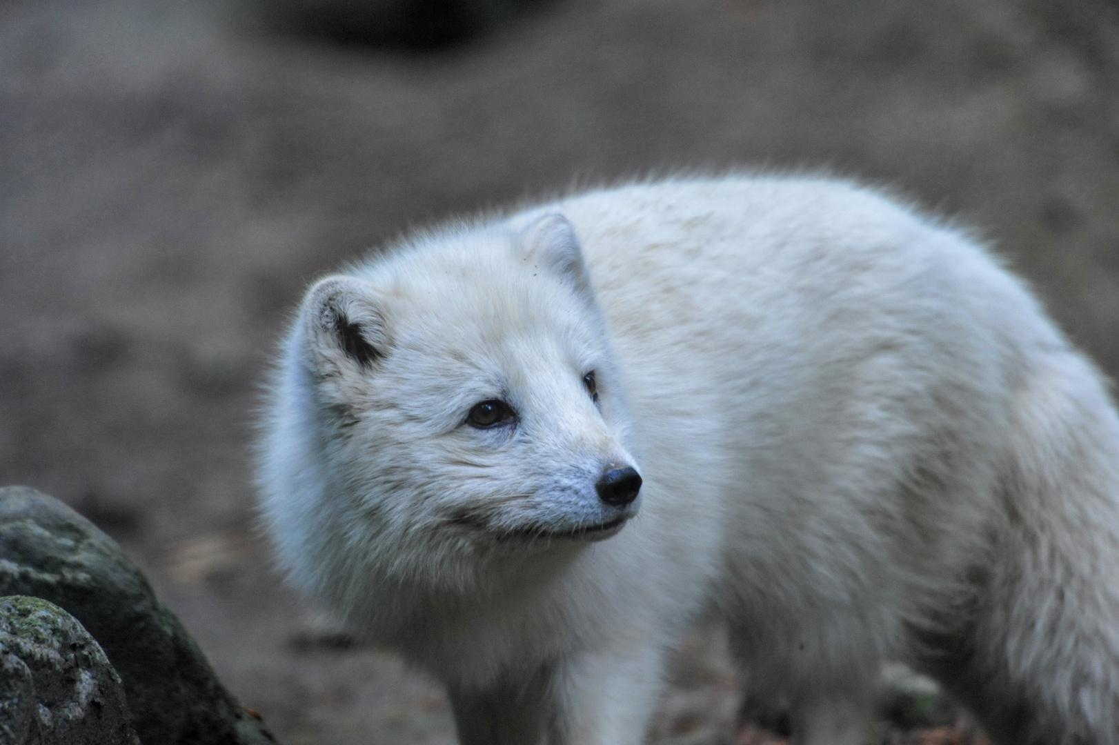 Polarfuchs