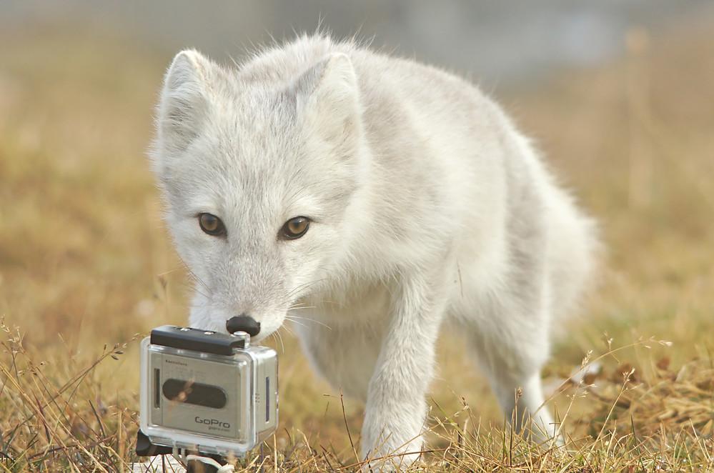 Polarfuchs entdeckt GoPro