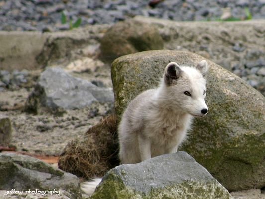 Polarfuchs Welpe