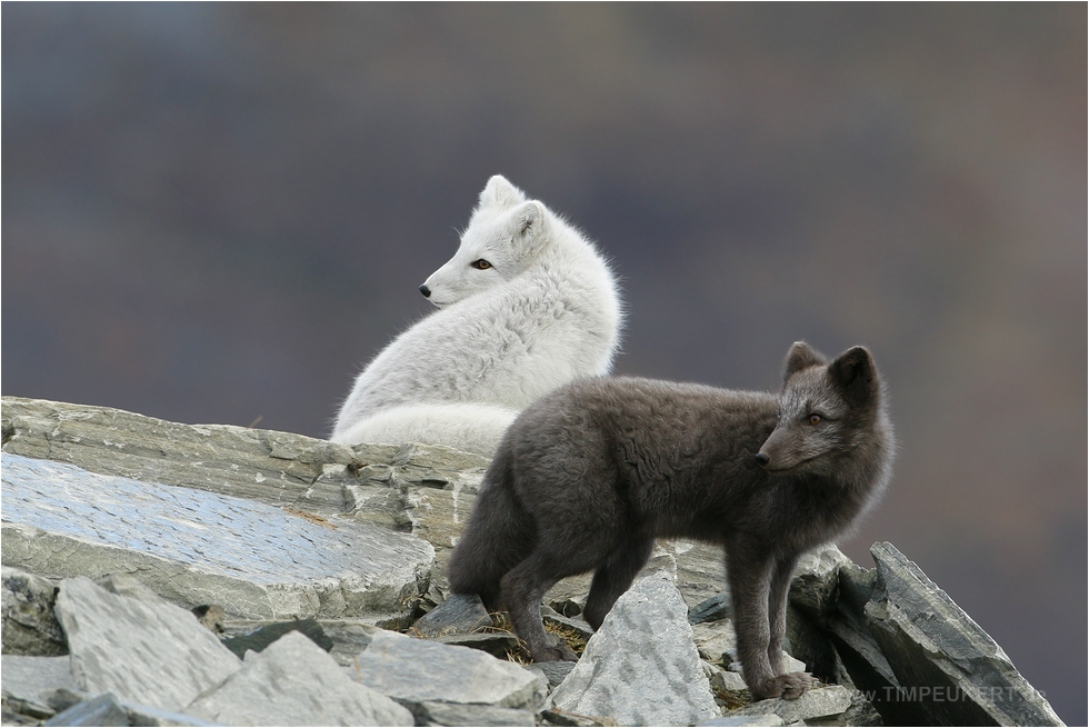 Polarfüchse in beiden Farbvarianten