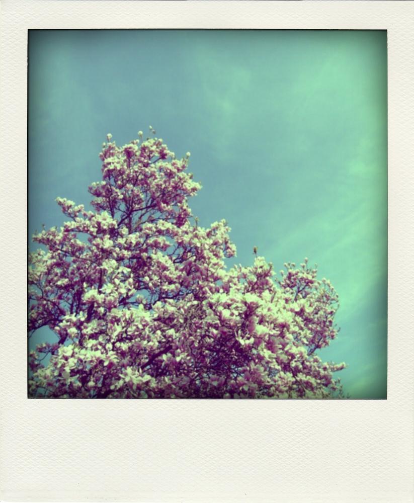 polaroid magnolienbaum foto bild natur jahreszeiten. Black Bedroom Furniture Sets. Home Design Ideas