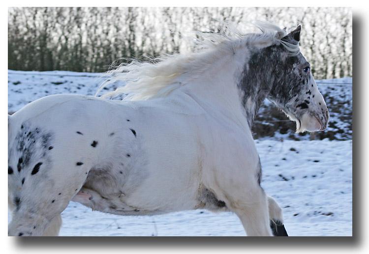 Polarpferd