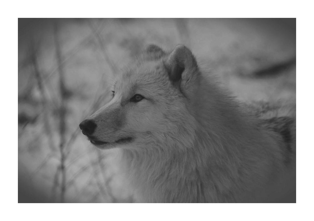 Polarwölfe 3