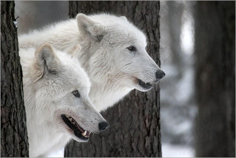 Polarwölfe....