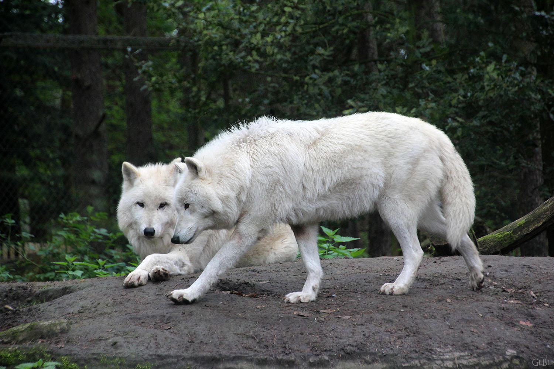 Polarwölfe im Wildpark Lüneburger Heide