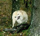 Polarwolf auf Streifzug