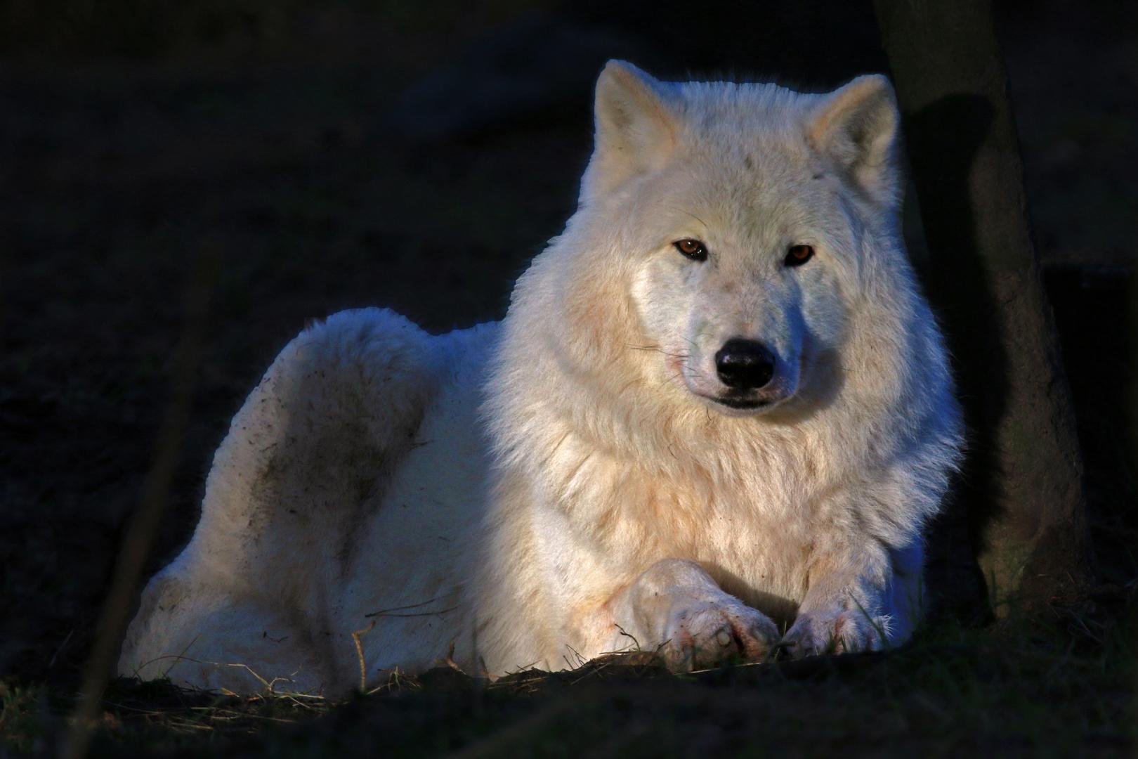 Polarwolf im Abendlicht