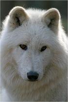 Polarwolf im Gegenlicht