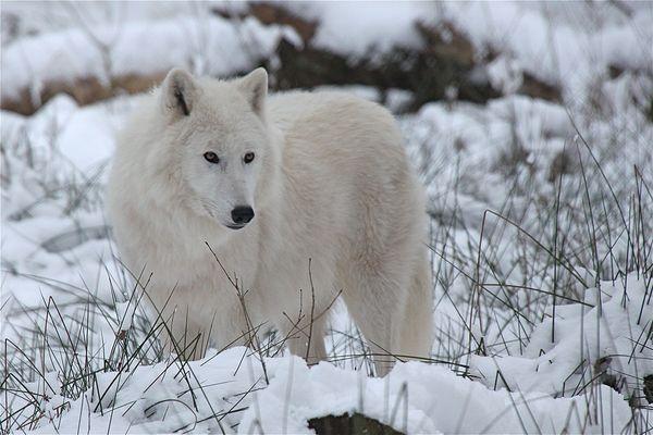 Polarwolf im Schnee