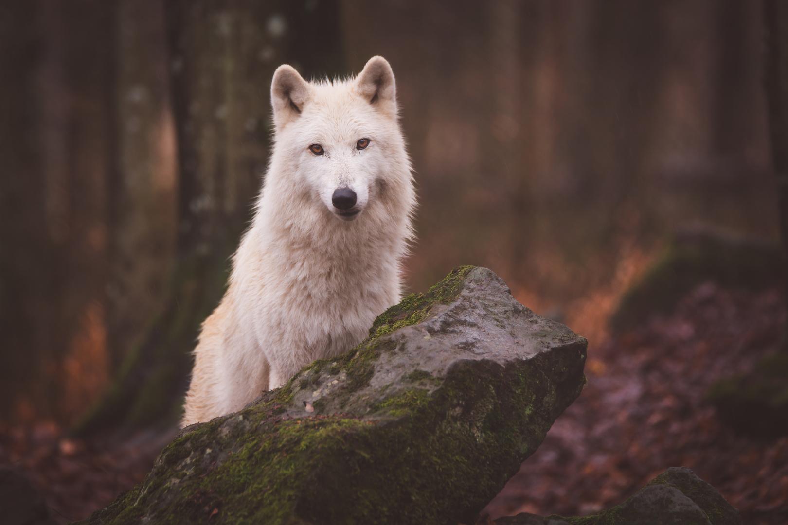 Polarwolf Rüde