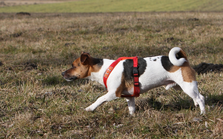 Poldi als Vorstehhund :-)