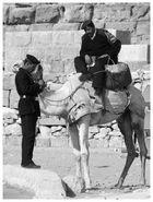 Police montée Egyptienne