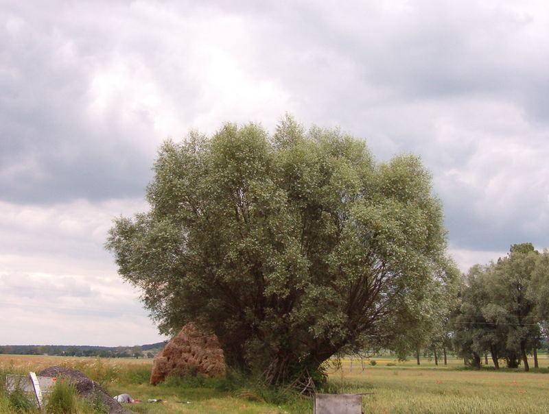 polish willow