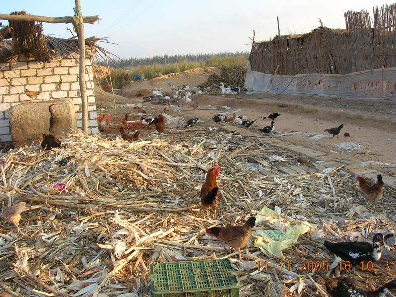 Pollaio in Egitto