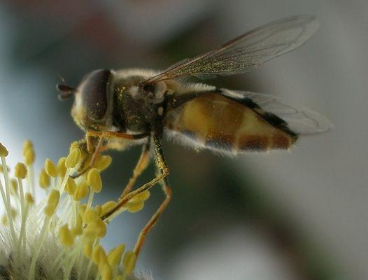 Pollen auf Biene