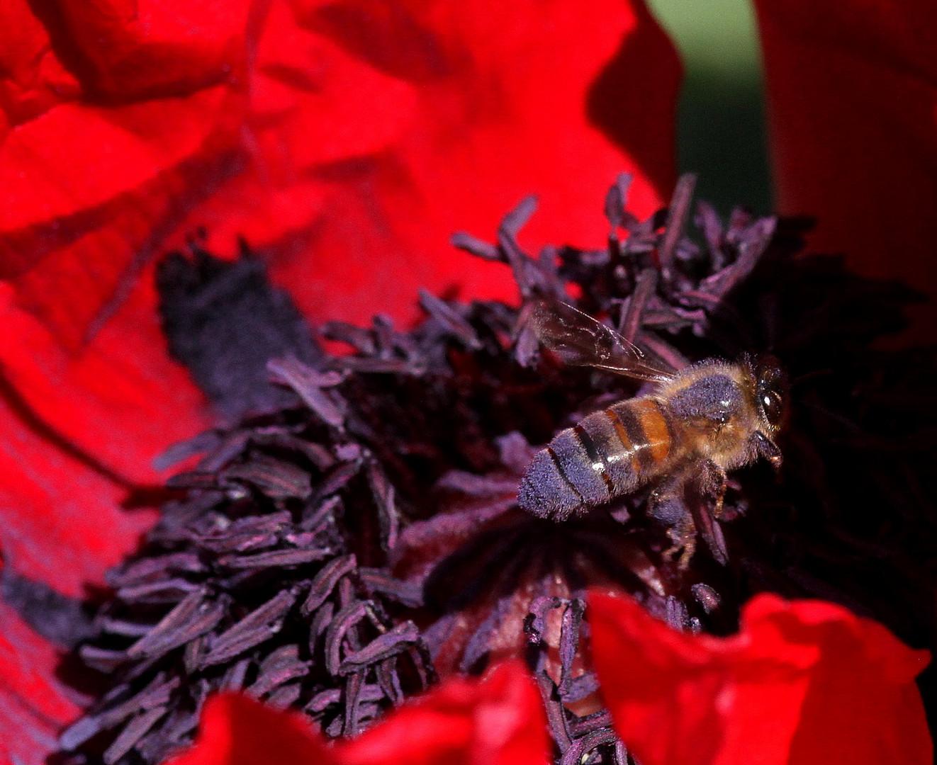 pollen mauve