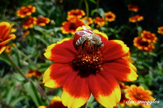 Pollen Sauger