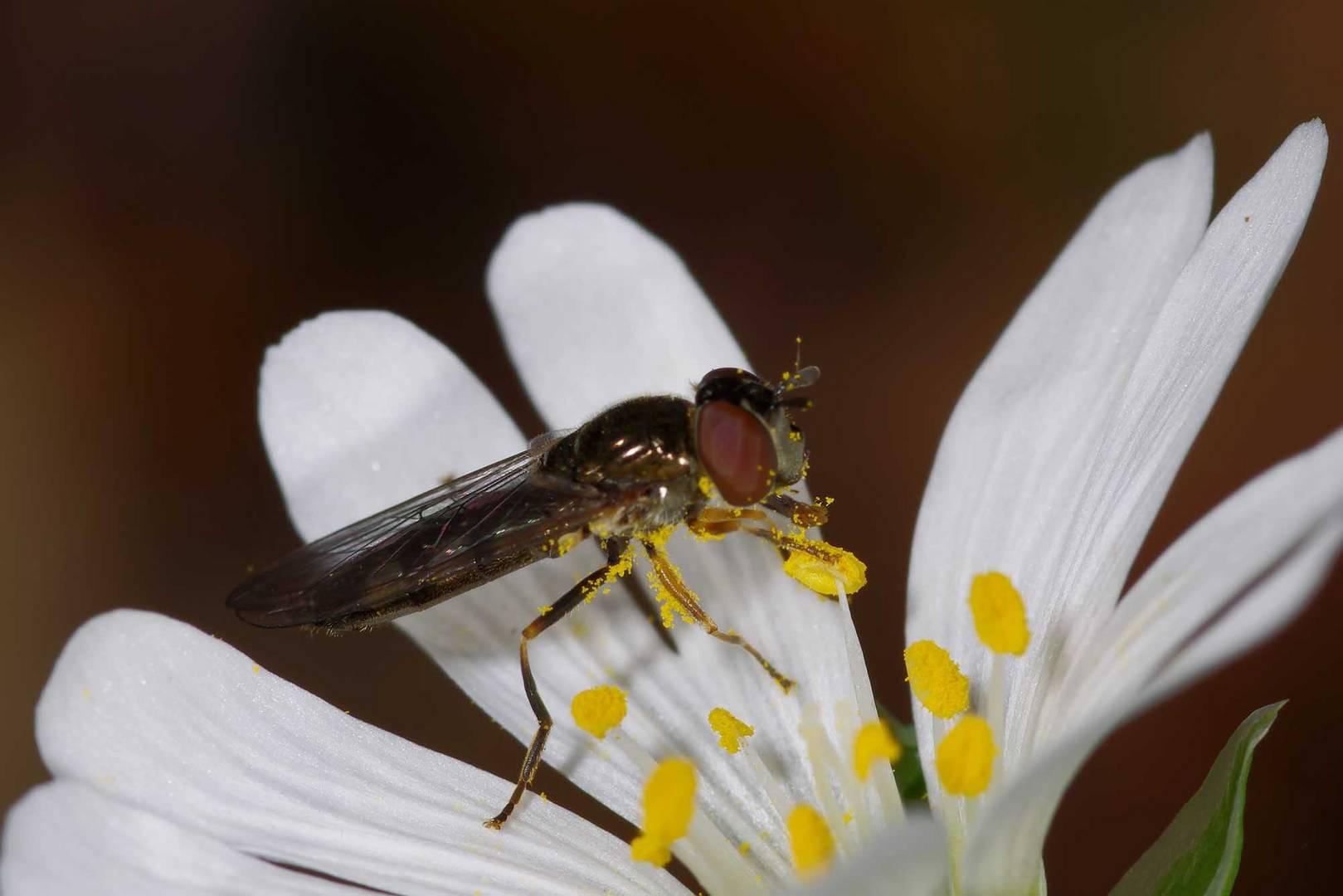 Pollen schlecken - Gemeine Langbauchschwebfliege an Sternmiere