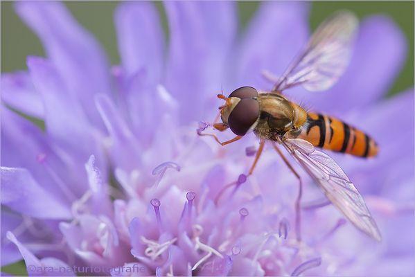 Pollen schlürfen - pollen sip
