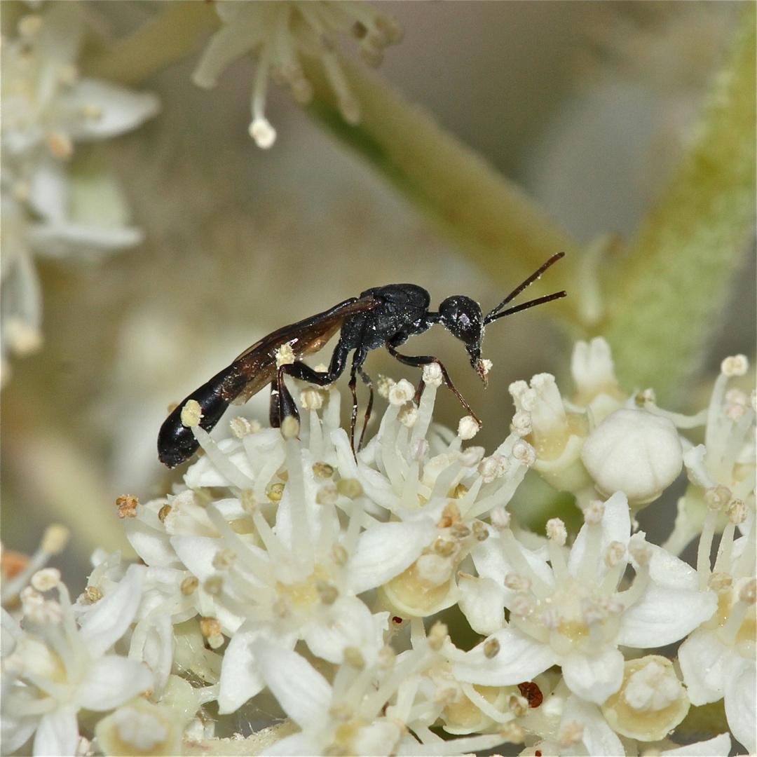 Pollenaufnahme einer etwa 7 mm langen, ganz schlanken Schlupfwespe, Fam. Ichneumonidae (?), . . .