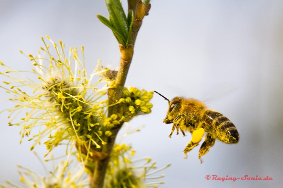 Pollenbomber im Landeanflug