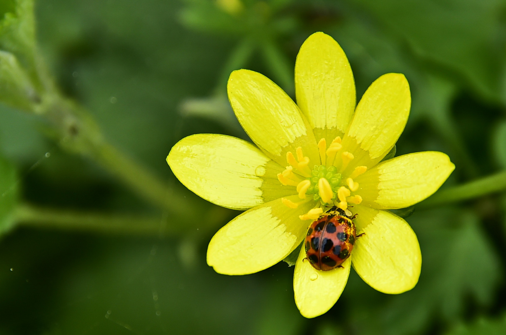 Pollendieb