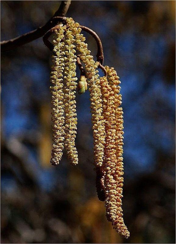 Pollenflug, Hadschi...
