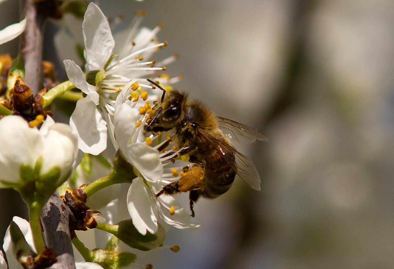 pollenjaeger