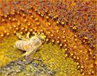 Pollenmeer