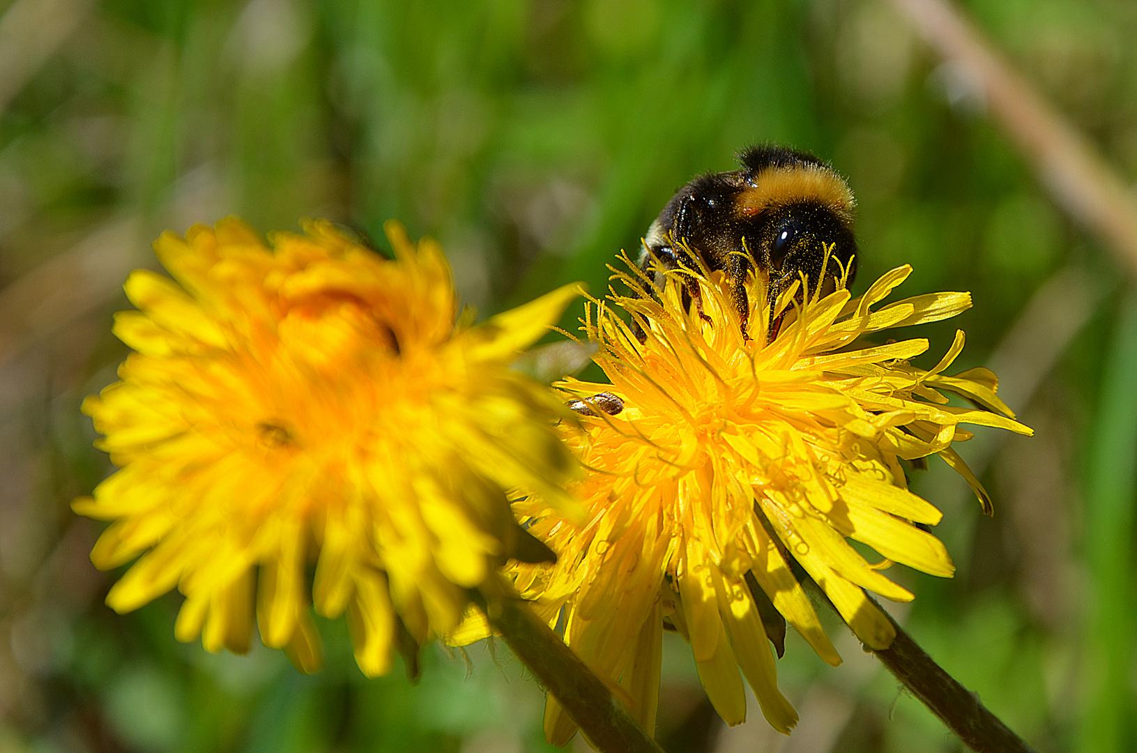 Pollensammler 2