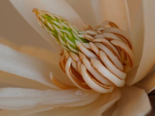 Pollenstand der Sternmagnolie ( Magnolia stellata )