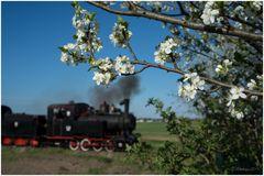 Polnische Kirschblüte