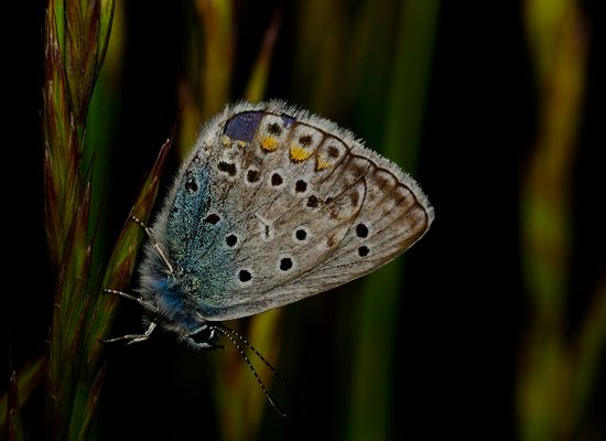 Polyommatus bellargus (Rottemburg,1775) Lepidoptera Lycaenidae