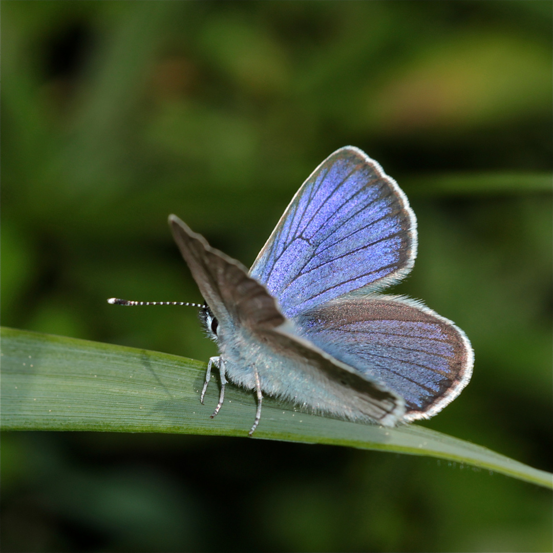 Polyommatus icarus - Gemeiner oder Hauhechel-Bläuling - welcher das ist, wußte ich bisher nicht.